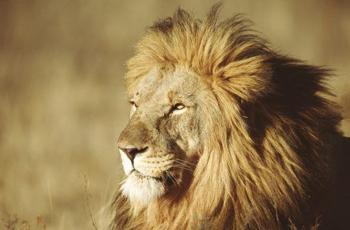 10 roarsome lion facts! | National Geographic Kids