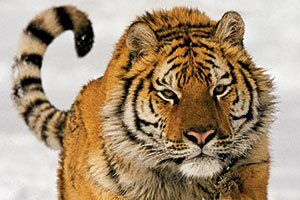 10 Tiger Facts National Geographic Kids