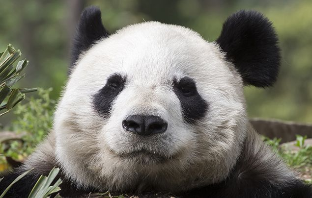 Facts about pandas