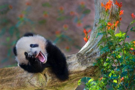 Here At National Geographic Kids, We Love Wonderful Wild Bears! Join Us As  We Learn About One Of Natureu0027s Cutest Critters In Our Facts About Pandas!