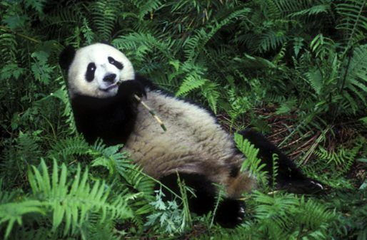 10 facts about pandas! | National Geographic Kids