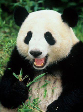 10 facts about pandas! | National Geographic Kids - photo#13