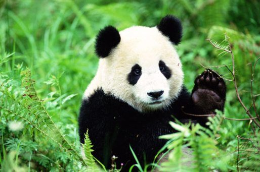 10 Facts About Pandas!
