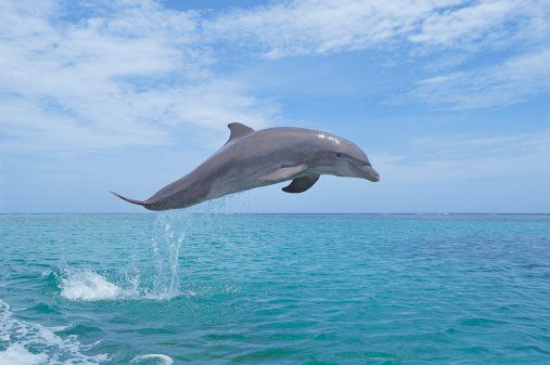 take a deep breath gang and join ng kids as we learn ten fab facts about one seriously splash tastic sea creature in our bottlenose dolphin facts - Pics Of Dolphins