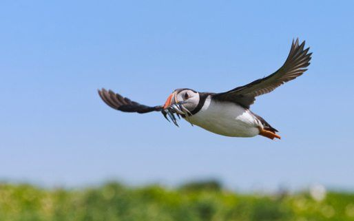 Ready For The Lowdown One Of Natures Most Fascinating Birds Then Check Out Our Ten Puffin Facts