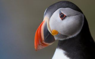 Puffin Facts!   National Geographic Kids