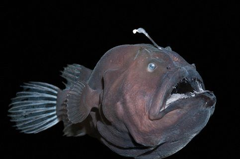 Now Heres A Creature That Might Give You Fright With Its Huge Head And Enormous Mouth These Fearsome Fish Swim In The Dark Depths Of Ocean