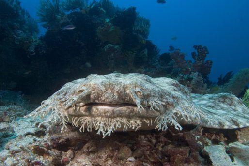 ocean's strangest creatures wobbegong