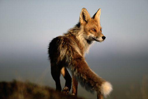 autumn animals fox