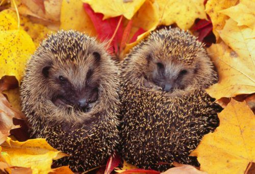 autumn animals hedgehogs