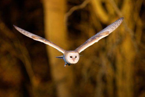autumn animals owl