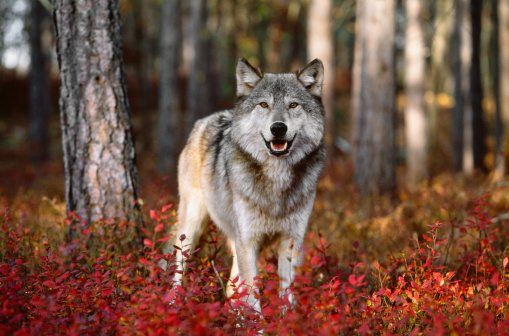 autumn animals wolf