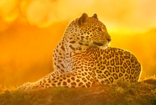 10 Leopard Facts! | National Geographic Kids - photo#31