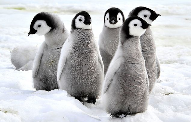 emperor penguin facts chicks