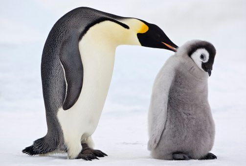 10 Facts About Emperor Penguins