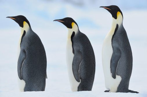 Emperor Penguins on Fun Printable Activities 2