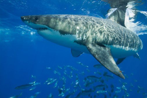 10 facts about great white sharks! | National Geographic Kids