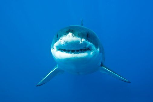 Great White Shark Facts For Kids | 10 Facts About Great White Sharks National Geographic Kids