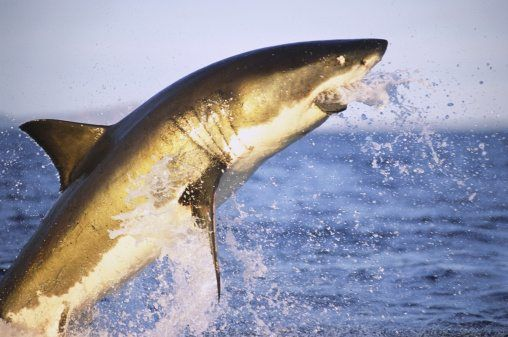 Great White Shark Enemies | 10 Facts About Great White Sharks National Geographic Kids