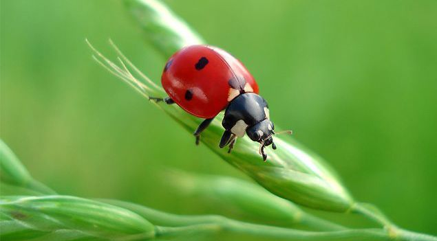 lady bird on a blade of grass