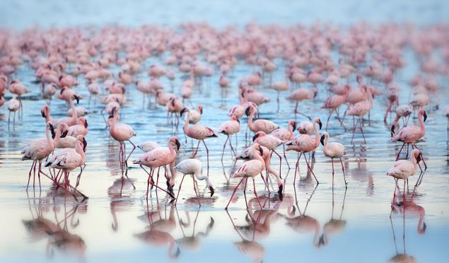 Kenya Facts - flamingoes