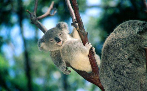10 koala
