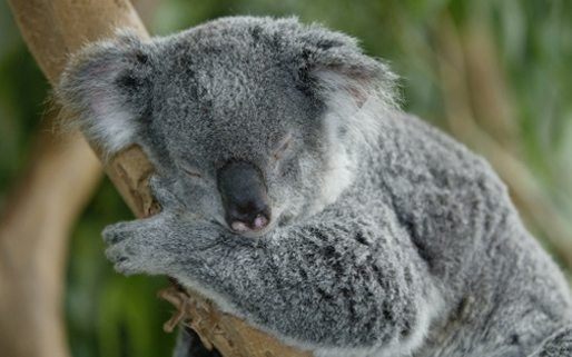 facts about koalas national geographic kids ready for the lowdown on one seriously cute creature then join national geographic kids as we check out ten fascinating koala facts