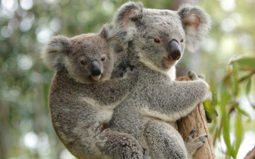 a research on the koala bear Researchers also found novel lactation proteins in the koala bears they  reported that these proteins protect the young ones in the pouch and.