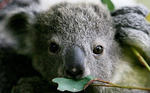 10 fascinating koala facts! | National Geographic Kids on