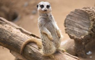 meerkat facts! | national geographic kids meerkat diagram