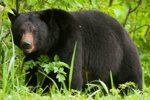 Black bear facts