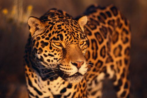 Elegant Jaguar Facts