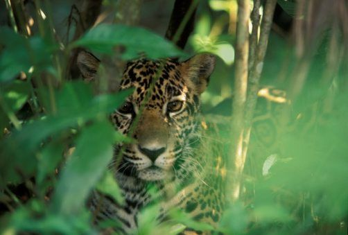 Captivating Jaguar Facts
