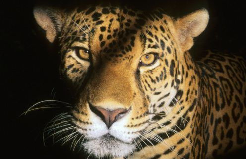 Great Jaguar Facts