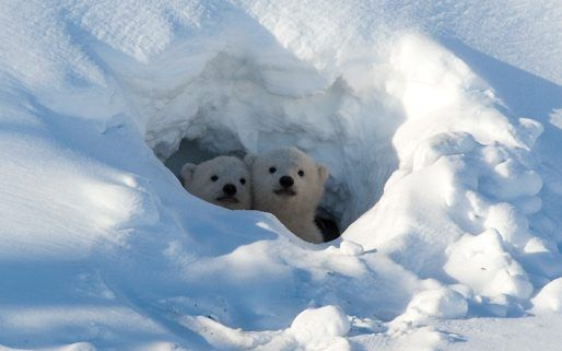 Polar Bear Facts on Hibernation Activities