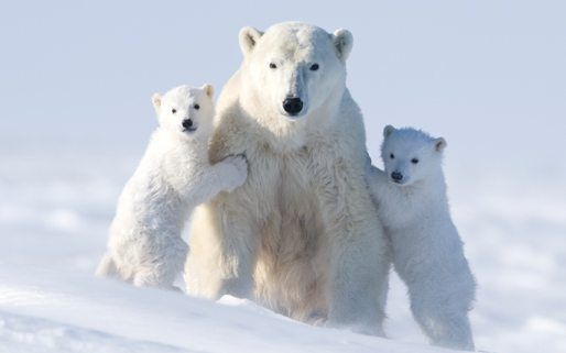 10 facts about polar bears national geographic kids