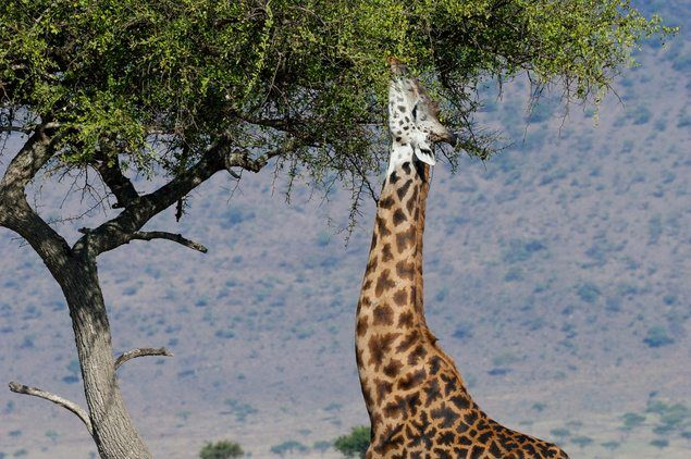 10 Giraffe Facts! | National Geographic Kids