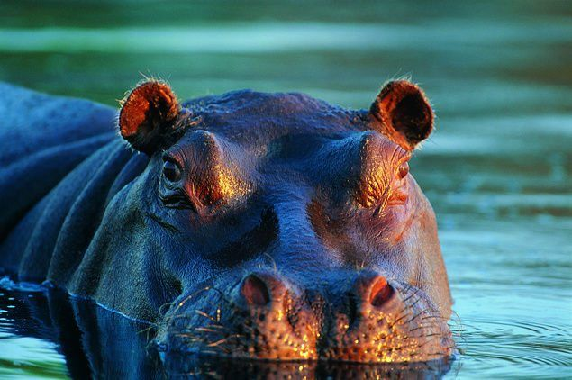 10 Hippo Facts National Geographic Kids