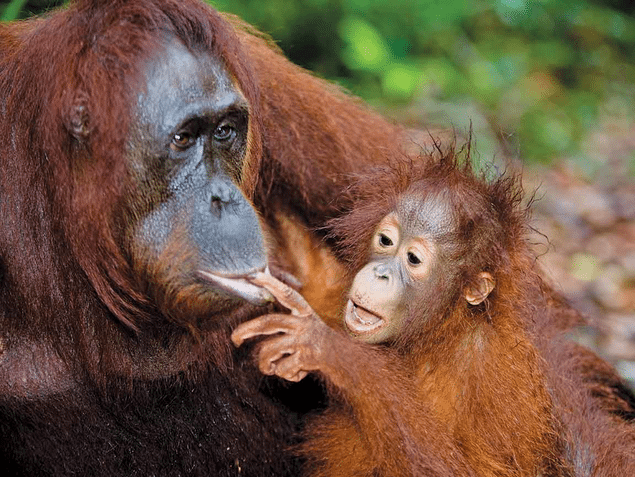 10 Orangutan Facts National Geographic Kids