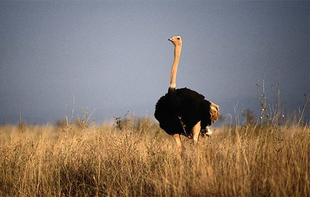essay on ostrich for kids Dinosaurs, where they came from how big were they what are fossils come discover dinosaurs for free at kids dinos.