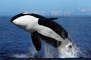 Killer whale facts for kids | National Geographic Kids