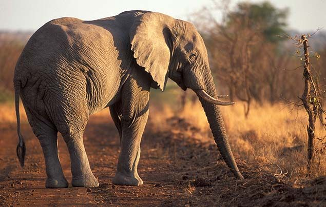 Top Elephant Facts  Animals  National Geographic Kids Ifaw Elephant Competition