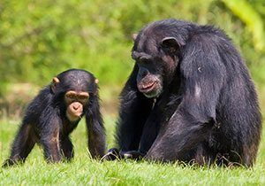 Chimpanzee facts for kids | National Geographic Kids