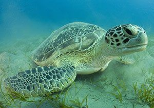 ee75f43b7e Green sea turtle facts for kids