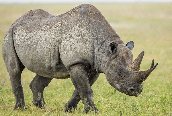 Rhinoceros facts