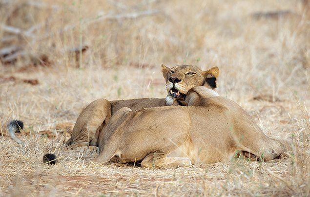 Nat Geo Wild Big Cat Week cheetah