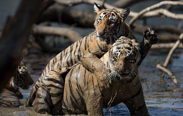 Nat Geo Wild Big Cat Month National Geographic Kids