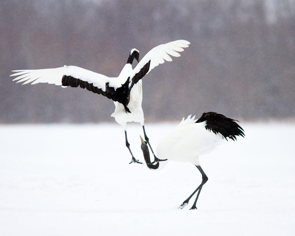 red-crowned cranes photo by Josh Guyan