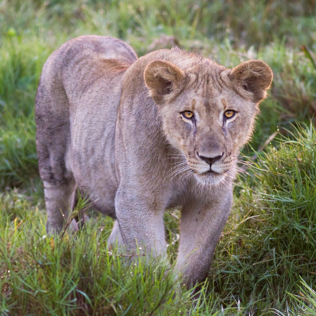 lioness photo by Josh Guyan