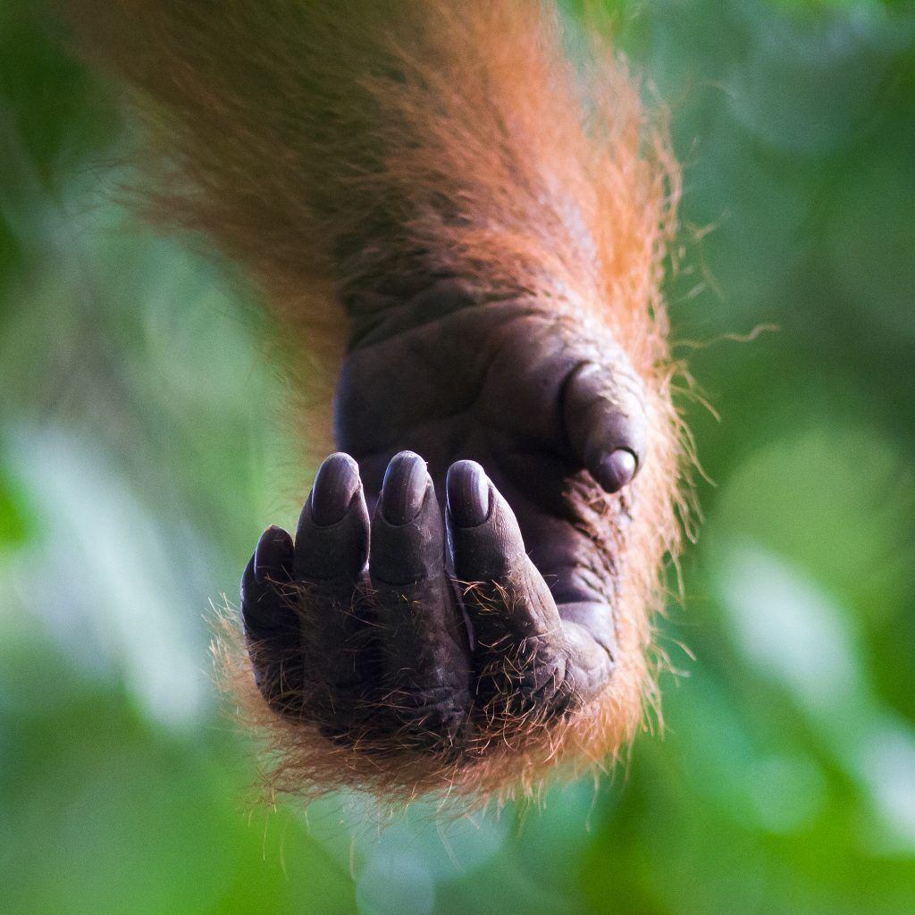 orangutan photo by Josh Guyan
